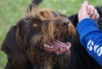 Junger Jagdhund im Kindertraining
